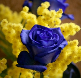 Blue roses con mimosa