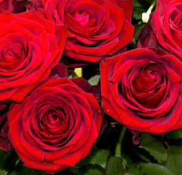RED ROSES - ROSE ROSSE
