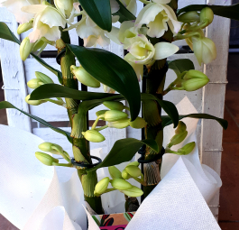 Orchidea Dendrobium -NON DISPONIBILE